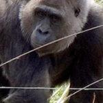 gorilla_168w